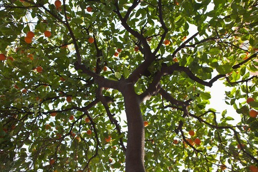 Oranges growing on a tree in Majorca, Spain : Stock Photo