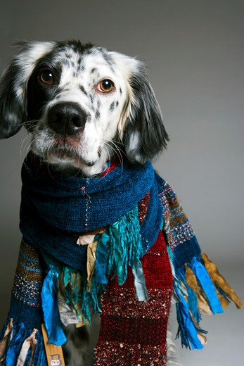 Stock Photo: 4011R-439A Happy dog wearing scarves