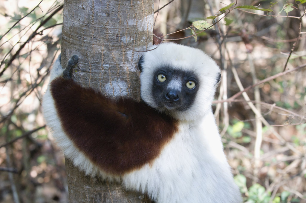 Stock Photo: 4021-1509 Madagascar, Ankarafantsika, Face of Coquerel's Sifaka (Propithecus coquereli)
