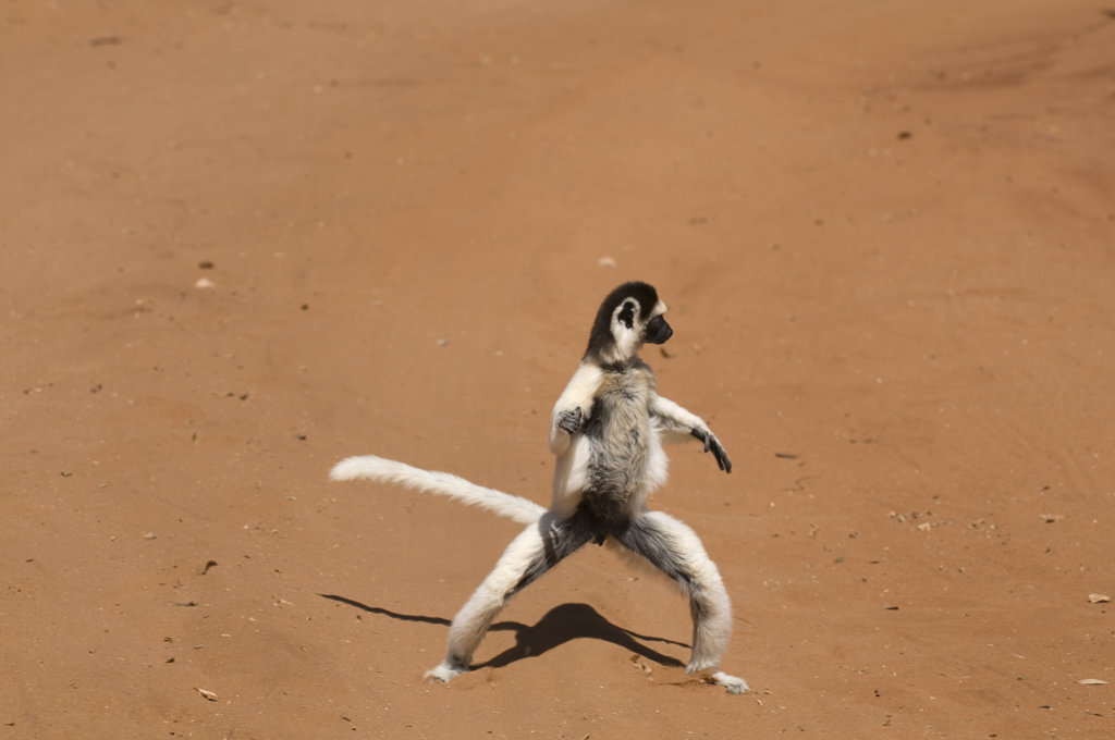Stock Photo: 4021-1673B Madagascar, Berenty Private reserve, Sifaka (Propithecus verreauxi)