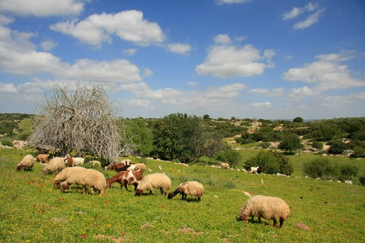 Flock of sheep grazing in a field, Adullam, Shephelah, Israel : Stock Photo