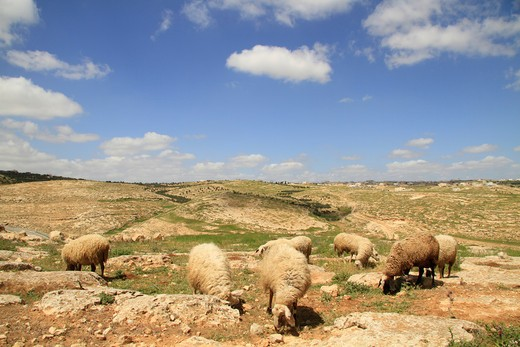 Flock of sheep in the vicinity of biblical Carmel, Southern Hebron Mountain, Israel : Stock Photo