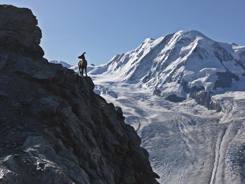 Mountain goat (Oreamnos americanus) on a cliff, Mt Breithorn, Zermatt, Valais Canton, Switzerland : Stock Photo