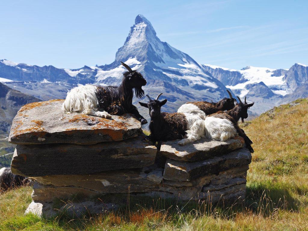 Stock Photo: 4025-130 Mountain goats (Oreamnos americanus) on rocks, Mt Matterhorn, Zermatt, Valais Canton, Switzerland