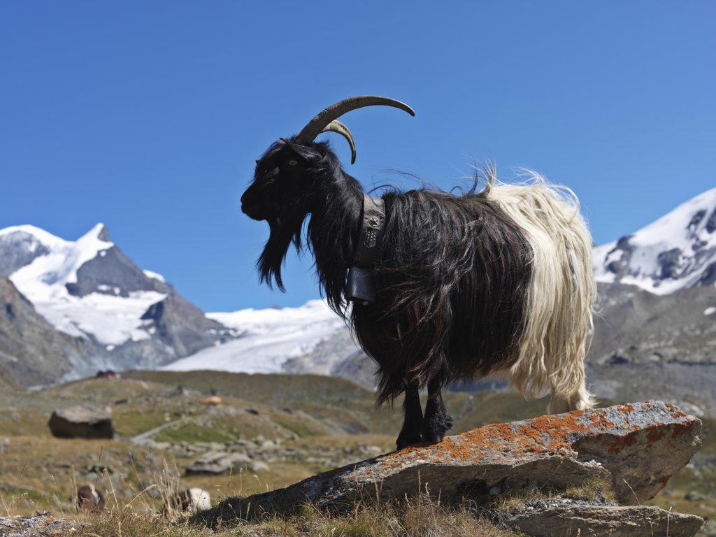 Mountain goat (Oreamnos americanus) standing on a rock with mountain range in the background, Mt Matterhorn, Zermatt, Valais Canton, Switzerland : Stock Photo