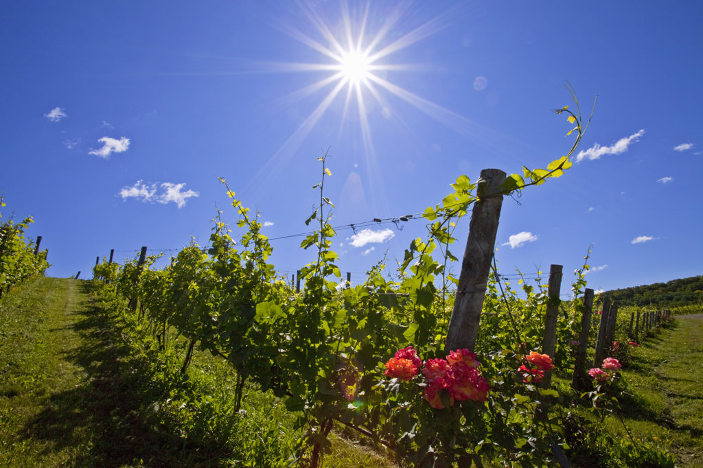 Rose flowers blooming in a vineyard, Beamsville, Ontario, Canada : Stock Photo