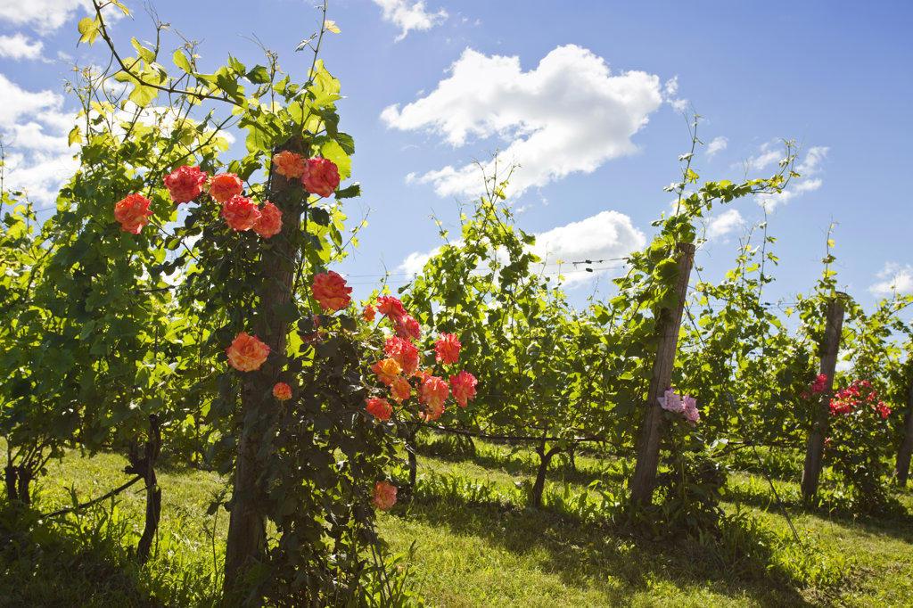 Stock Photo: 4025-159 Rose flowers blooming in a vineyard, Beamsville, Ontario, Canada