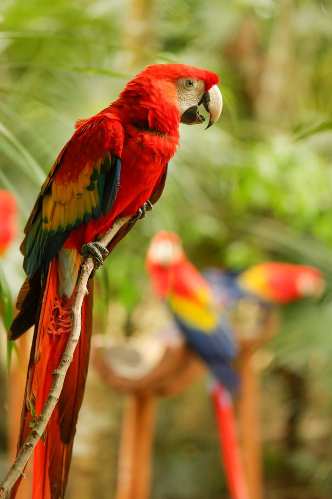 Stock Photo: 4025-313 Scarlet Macaw (Ara macao) is large, colorful macaw