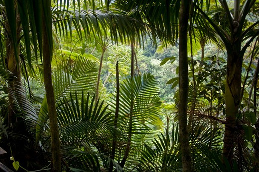 Stock Photo: 4028-1351 Puerto Rico, Luquillo, El Yunque National Forest, Tropical Rainforest.