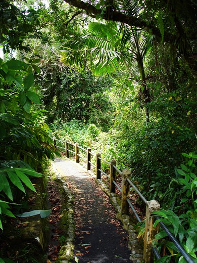 Puerto Rico, Luquillo, El Yunque National Forest, Trail. : Stock Photo