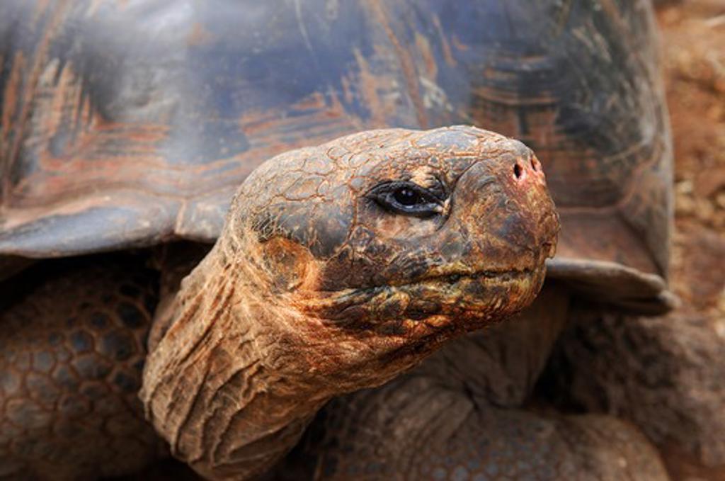 Close up of a Galapagos Tortoise, Giant Tortoise, Geochelone nigra, Galapagos Islands, Ecuador : Stock Photo