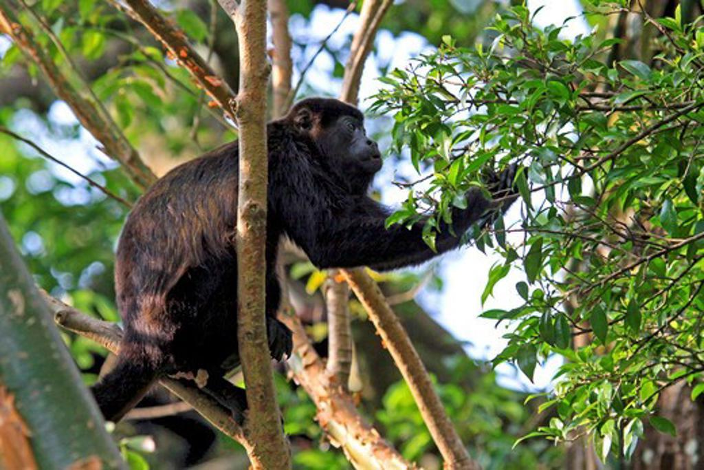 Mantled Howler Monkey (Alouatta palliata) male feeding on flowers of the Padauk (Pterocarpus michelianus) tree, Lomas de Barbudal Biological Reserve, Guanacaste, Costa Rica : Stock Photo