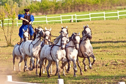Stock Photo: 4028-2026 Hungary, Kalocsa, Csikos Hungarian horse rider, riding his team while standing