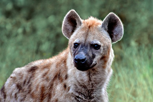 Stock Photo: 4028-3105 Spotted hyena (Crocuta crocuta) in Chobe National Park, Botswana, Africa.