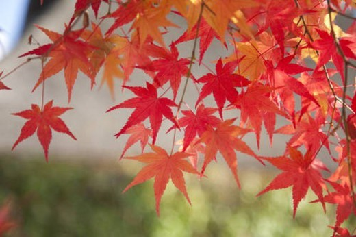 Stock Photo: 4029R-104491 Red and orange Japanese maple leaves in autumn