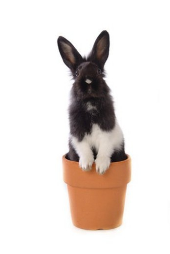 Stock Photo: 4029R-108310 mammal, animal, vertebrate, LionHead, rabbit, land animal, pet