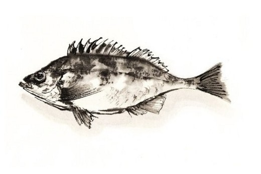 Stock Photo: 4029R-110734 Banded Rockfish, Ink Brush Painting