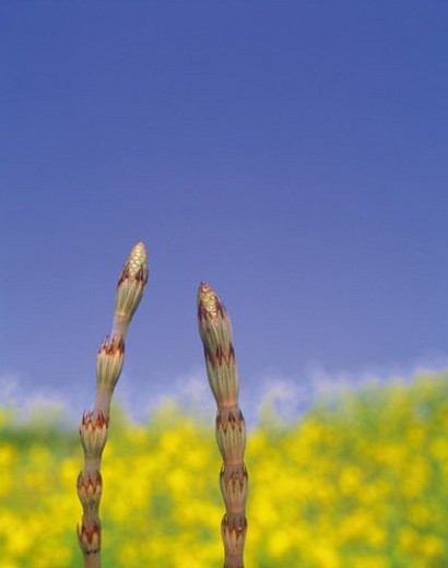 Horsetail : Stock Photo