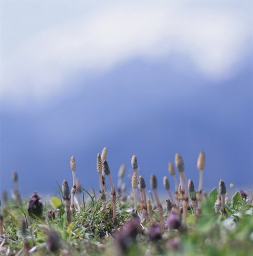 Field Horsetail : Stock Photo