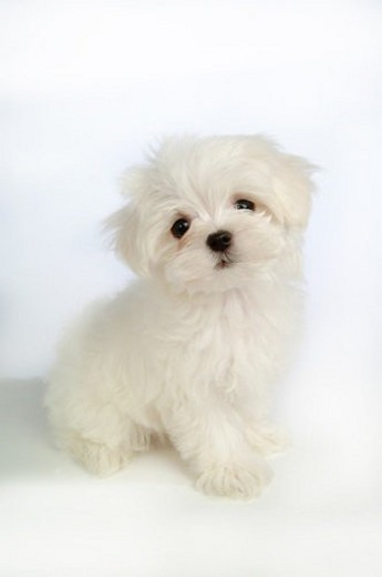 Stock Photo: 4029R-112735 house pet, domestic, cute, loving, canines, maltese