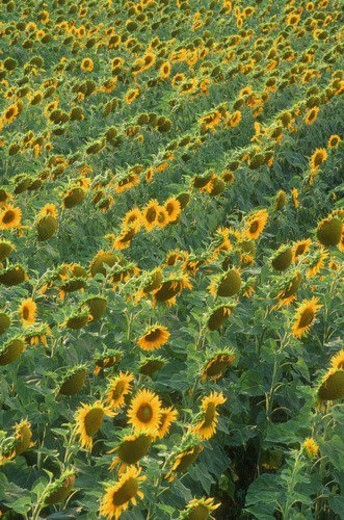 Stock Photo: 4029R-116989 Field of sunflowers