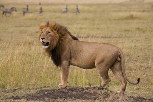Stock Photo: 4029R-119524 Lion, Masai Mara, Kenya; Lion looking across the African plains