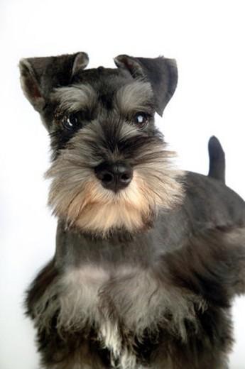 Stock Photo: 4029R-120986 cute, schnauzer, loving, canines, domestic, miniature schnauzer