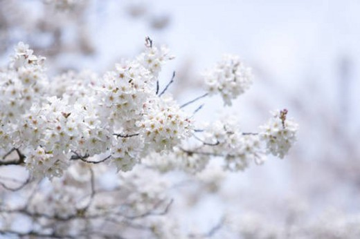 Stock Photo: 4029R-121529 Cherry flowers on branches, Japan, low angle view, differential focus