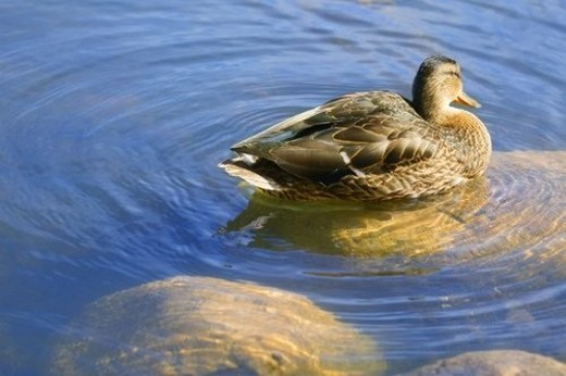 Stock Photo: 4029R-122481 Duck swimming in pond