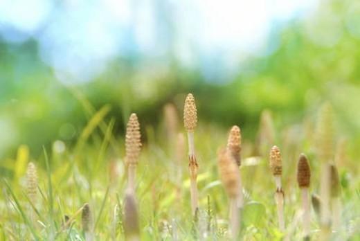 Stock Photo: 4029R-122831 Field horsetail