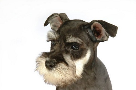 cute, schnauzer, loving, canines, domestic, miniature schnauzer : Stock Photo