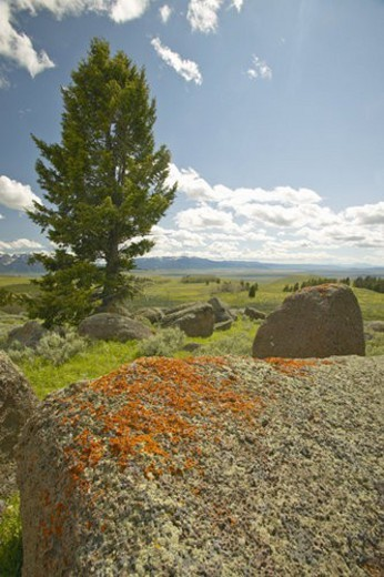 Ancient orange lichens growing on rocks in Centennial Valley : Stock Photo