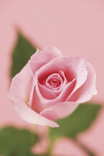 Stock Photo: 4029R-128562 Close-up of a rose