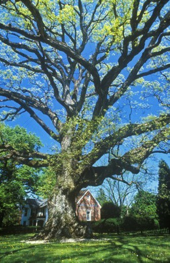 Stock Photo: 4029R-129802 Oldest oak tree in United States