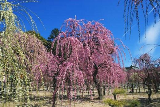 Plum trees, Tsu city, Mie prefecture, Japan : Stock Photo