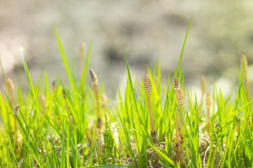 Stock Photo: 4029R-131708 Field Horsetail