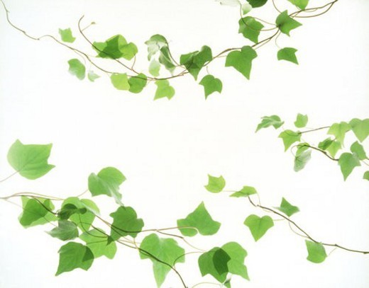 Stock Photo: 4029R-134891 View of leaves with white background (digital composite)