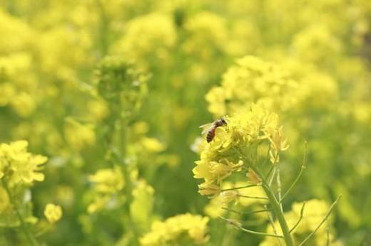 Oilseed rape and bee : Stock Photo