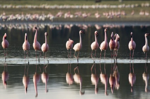 Stock Photo: 4029R-142237 Flamingoes walking in river