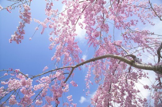 Stock Photo: 4029R-145463 Weeping Cherry Tree