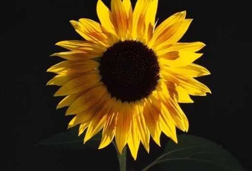 Close-up of blooming sunflower : Stock Photo