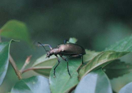 Stock Photo: 4029R-15206 outdoor, insect, plant, beetle, leaf, nature