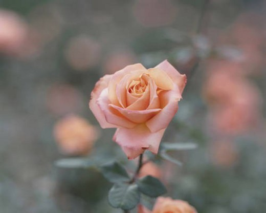 Close up of single rose, Tokyo prefecture, Japan : Stock Photo