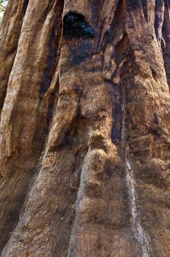 Stock Photo: 4029R-15453 The bark of a giant sequoia tree