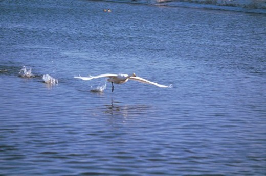 Stock Photo: 4029R-160543 natural world, landscape, bird, animal, lake, scenery, nature