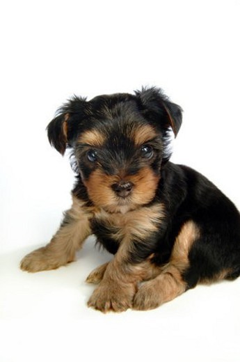 Stock Photo: 4029R-163546 domestic, yorkshire, yorkie, yorky, terrier, yorkshire terrier