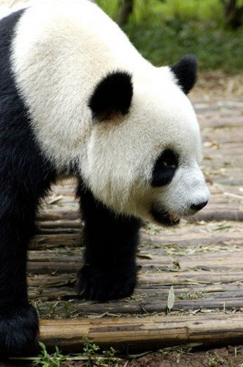 Head shot of giant panda : Stock Photo
