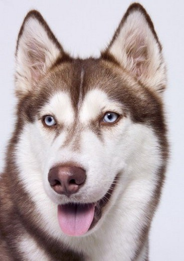 Stock Photo: 4029R-164016 close-up, white background, domestic animal, pet, animal