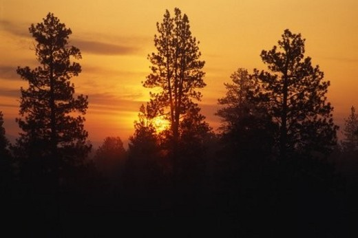 Stock Photo: 4029R-164083 Forest silhouette at sunrise.