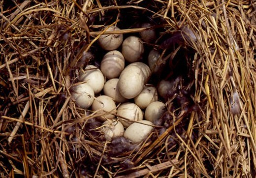 Stock Photo: 4029R-171235 duck egg, natue, egg, wild, scene, nest, landscape